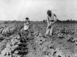 Sharecroppers in a cotton field. Credit Library of Congress